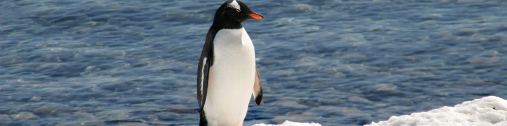 Pinguin alleine