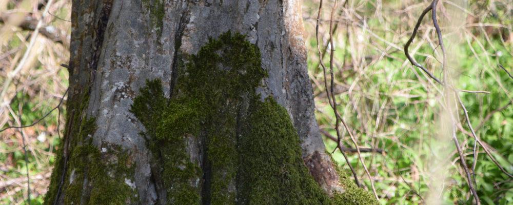 Bärlauch Wesen 1