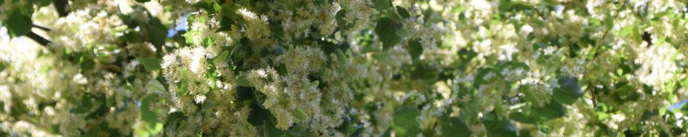 Linde Blog Blüten 1