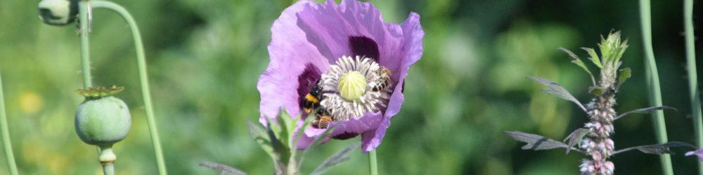 Mohn lila Biene 8